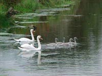 Swans on Teviot River